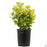 Golden Euonymus 1 gallon