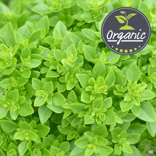 Greek Basil Organic