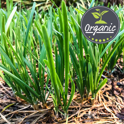 Garlic Chives Organic