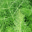 Fennel 'Green Leaf'
