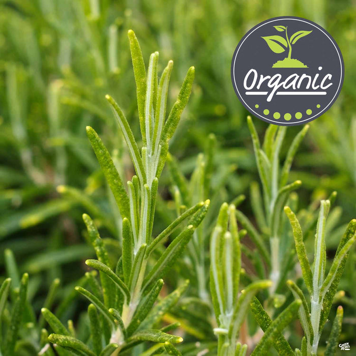 Rosemary 'Barbecue', Organic