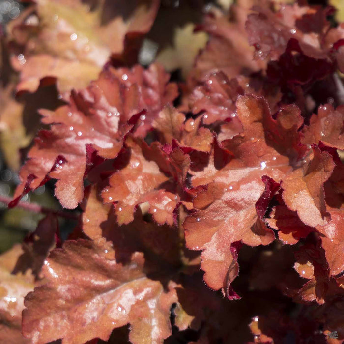 Heuchera 'Cinnamon Curls'