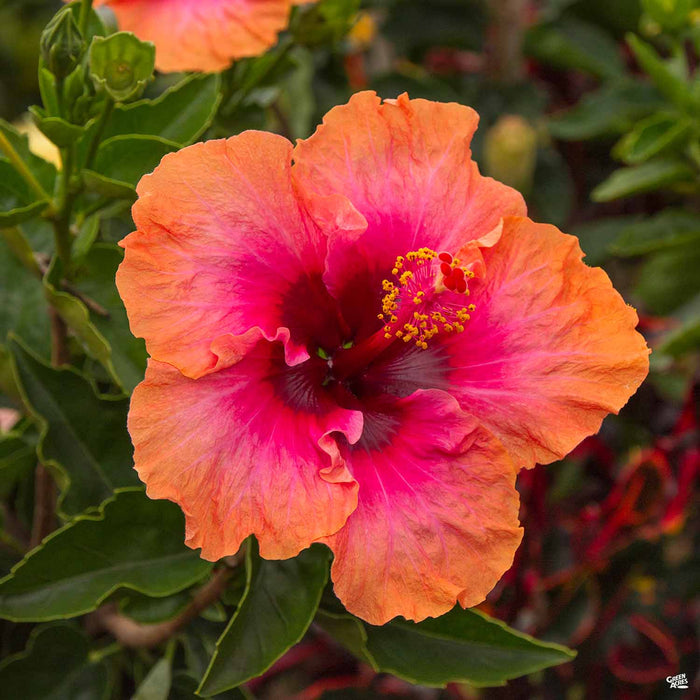 Pink Tropical Hibiscus