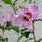 Rose of Sharon 'Aphrodite'