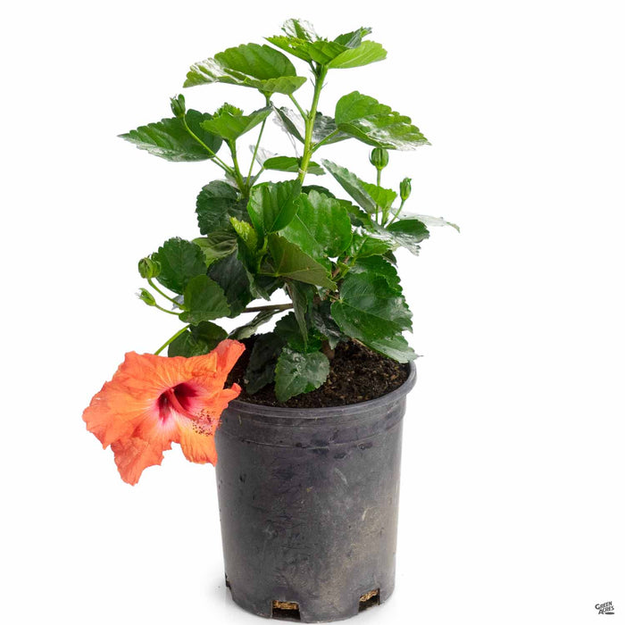 Tropical Hibiscus 'Mandarin Wind' 1 gallon