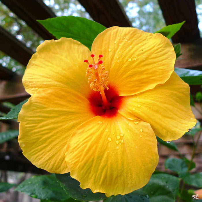 Tropical Hibiscus Green Acres Nursery Supply