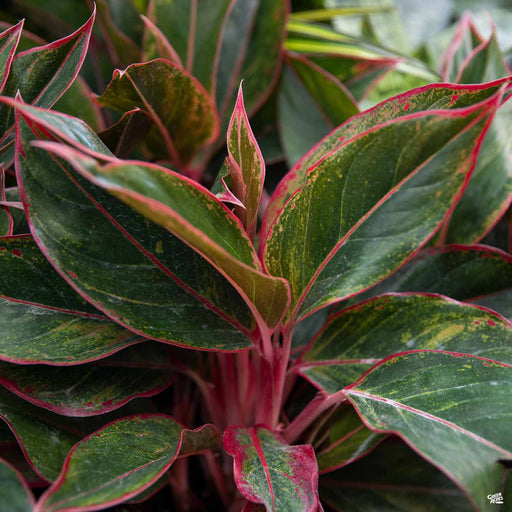 Aglaonema 'Red'