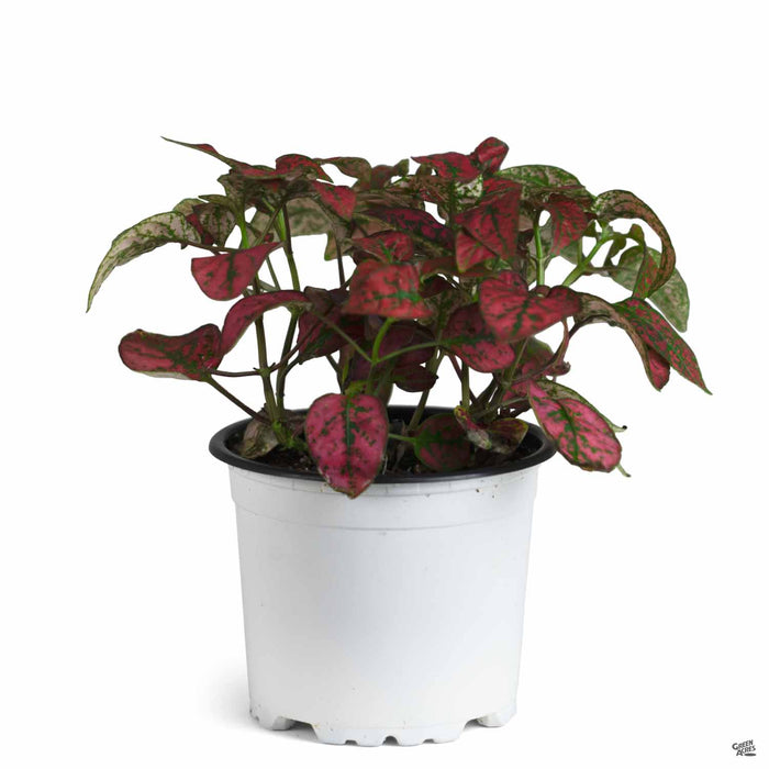 Hippo Red Polka Dot Plant 4 inch