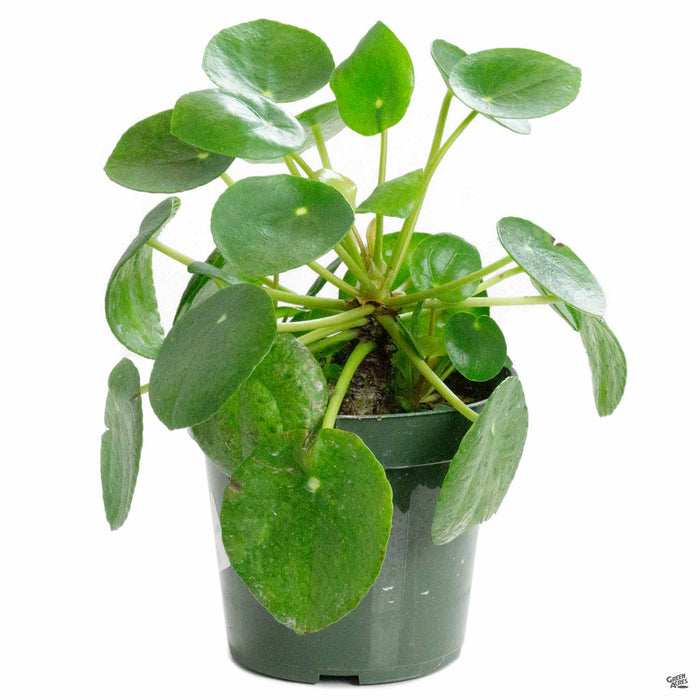 Chinese Money Plant 4 inch