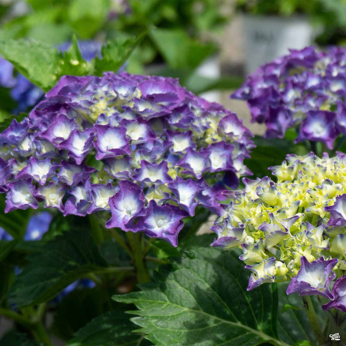 Hydrangea 'Royal Purple'