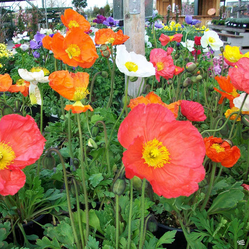 Iceland Poppies, Pink, Orange, White