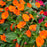 Orange New Guinea Impatiens