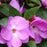 Purple New Guinea Impatiens