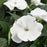 White New Guinea Impatiens