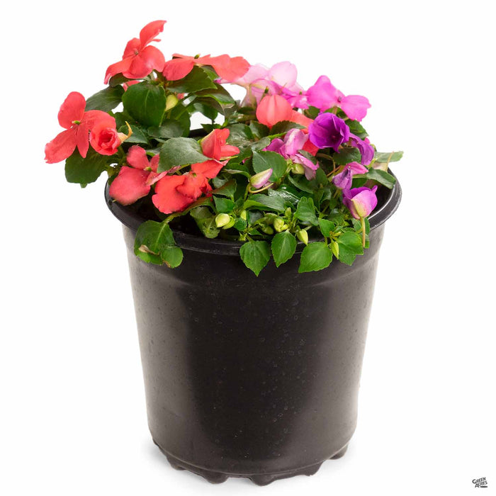 Impatiens 'Xtreme Mix' 1 gallon
