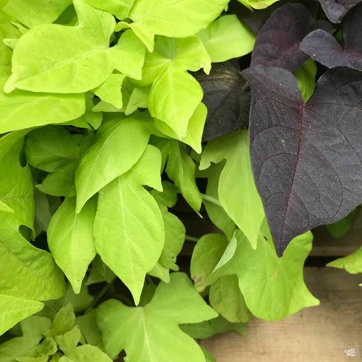 Sweet Potato Vine with Sweet Potato Vine 'Black Heart'