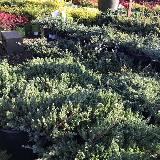 Juniper 'Green Mound'