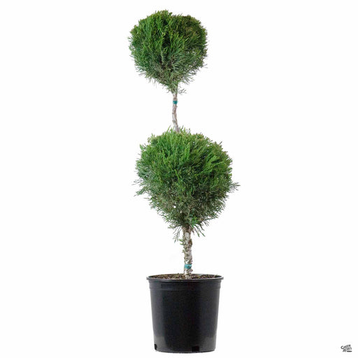 Juniper 'Mint Julep' 2 Ball Topiary