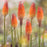 Red Hot Poker 'Flamenco'