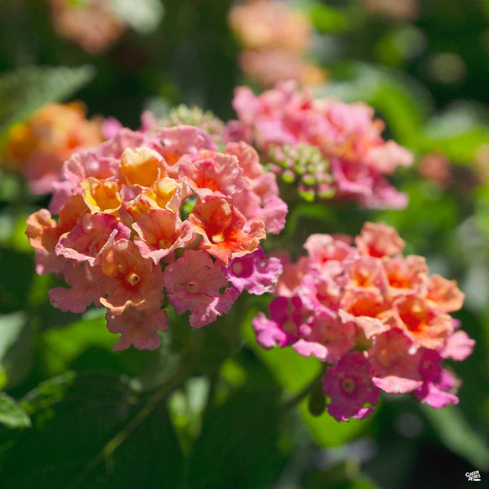 Lantana 'Little Lucky Hot Pink'