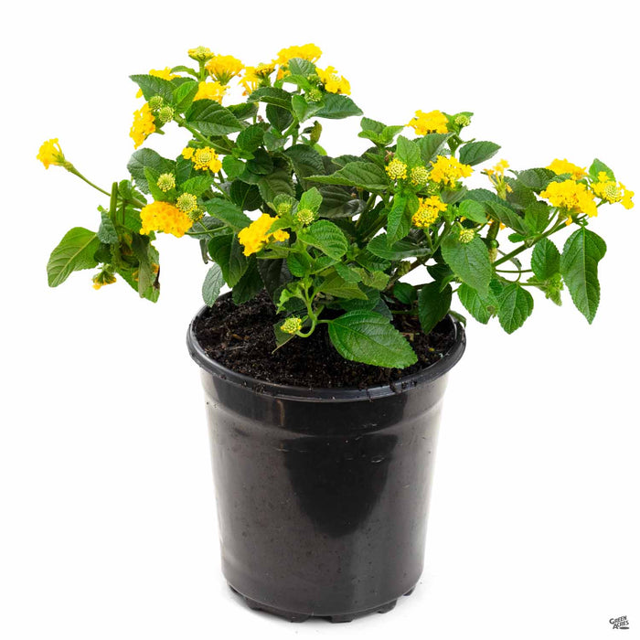 Lantana Little Lucky Pot of Gold 1 gallon