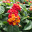Lantana 'Little Lucky Red'