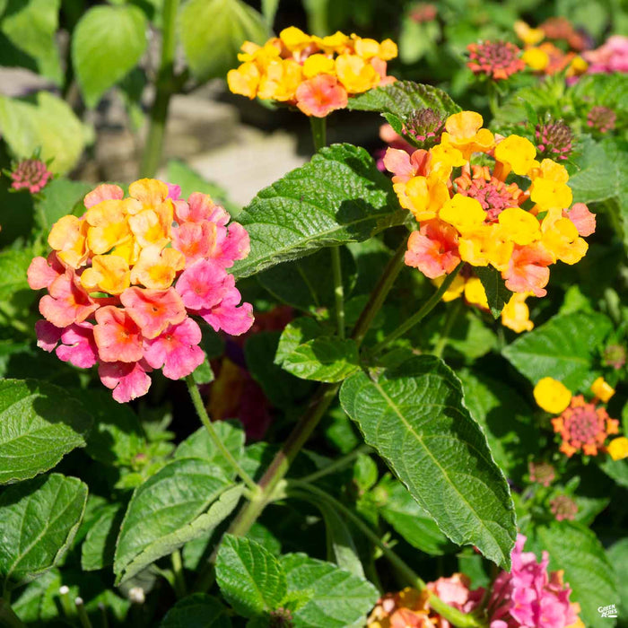 Lantana 'Lucky Sunrise Rose'