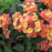 Lantana 'Landmark Peach Sunrise Improved'