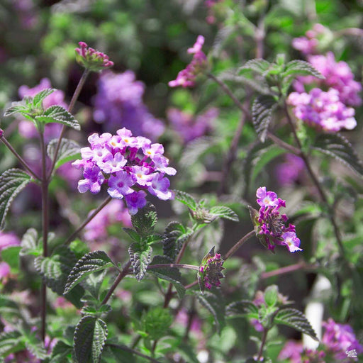 Lantana 'Purple Trailing' Purple
