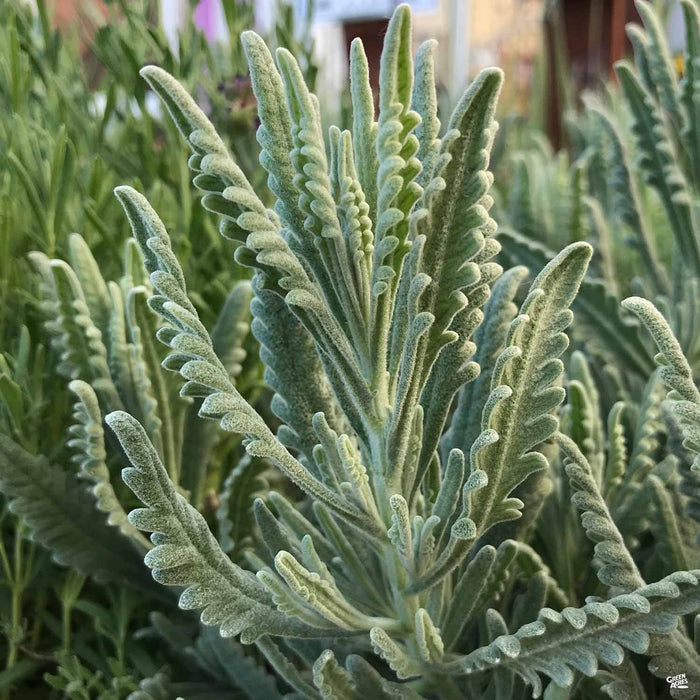 Lavender 'Goodwin' leaves