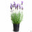 Spanish Lavender 'Dedication' 1 gallon