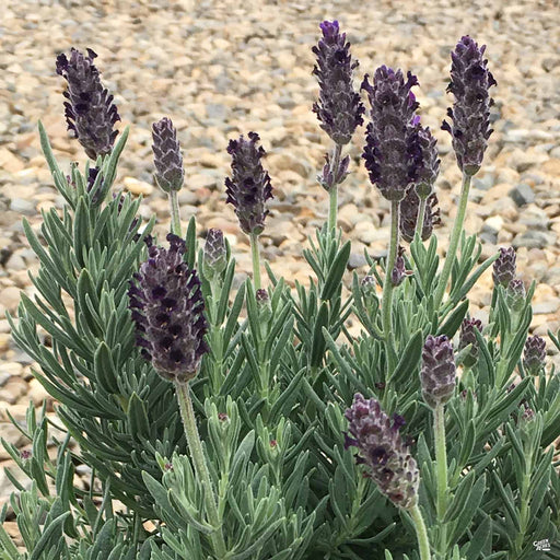 Spanish Lavender 'Anouk Purple Crown'