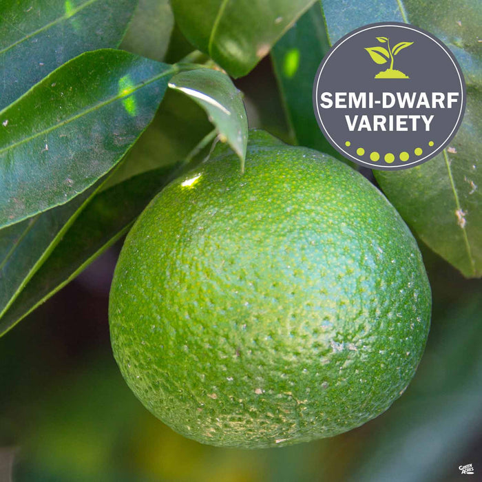 Lime 'Mexican Key'