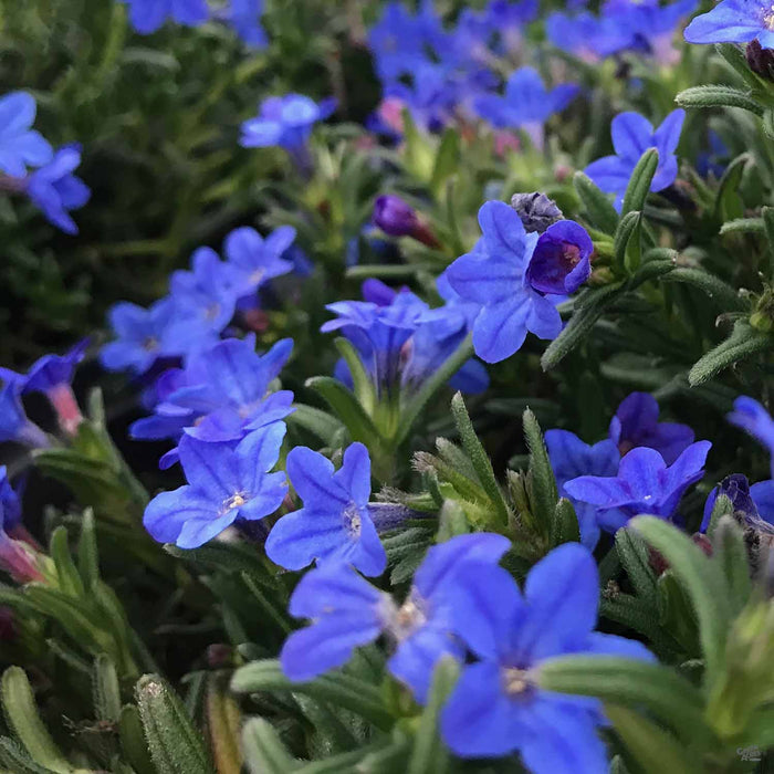 Blue Lithodora