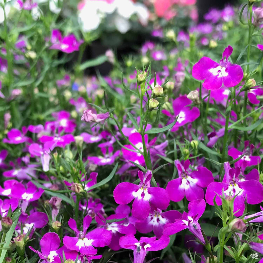 Lobelia Green Acres Nursery Supply