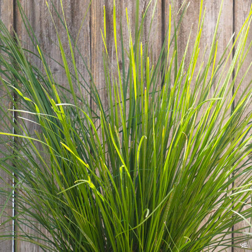 Lomandra Breeze Dwarf Mat Rush