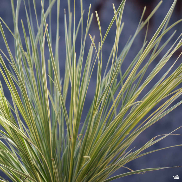 Lomandra 'Platinum Beauty'