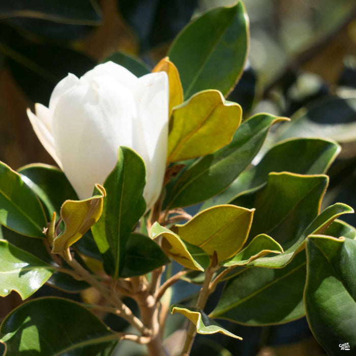 'Little Gem' Magnolia