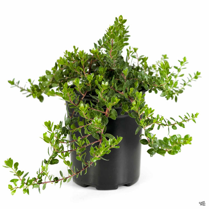 Manzanita 'Emerald Carpet' 1 gallon