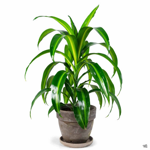 Potted Dracaena 'Hawaiian Sunshine3' in Chocolate Terra Cotta Pot