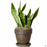 Potted Snake Plant 'Laurentii' in Chocolate Terra Cotta Pot