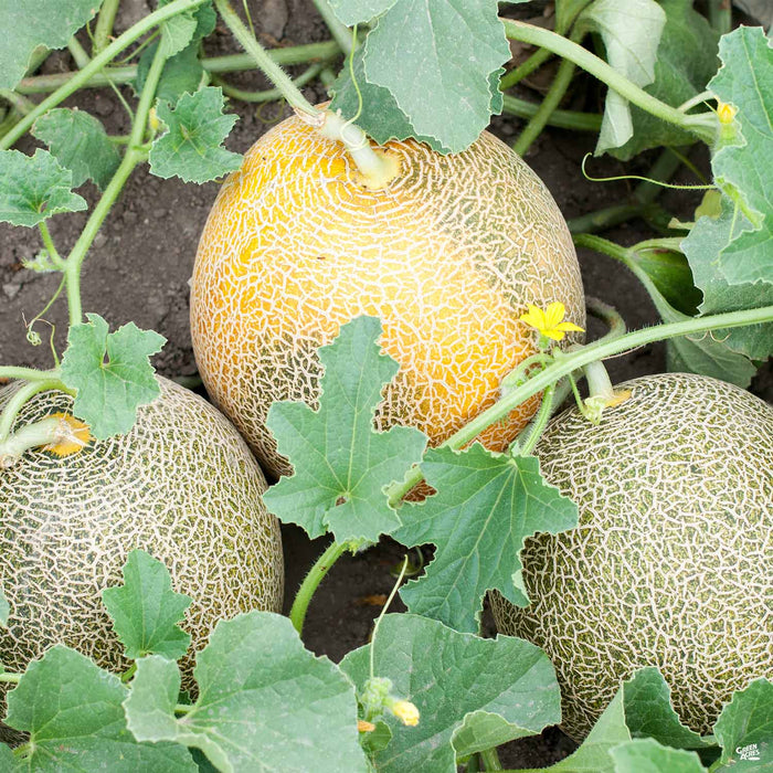 Melon Ambrosia Cantaloupe Green Acres Nursery Supply The cantaloupe is defined by two elements: melon ambrosia cantaloupe