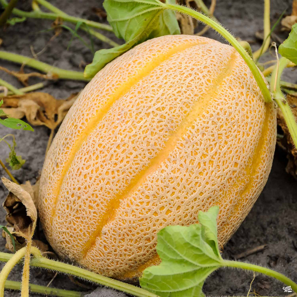 Melon Gold Star Cantaloupe Green Acres Nursery Supply Cantaloupe melons have a warty rind. green acres nursery supply