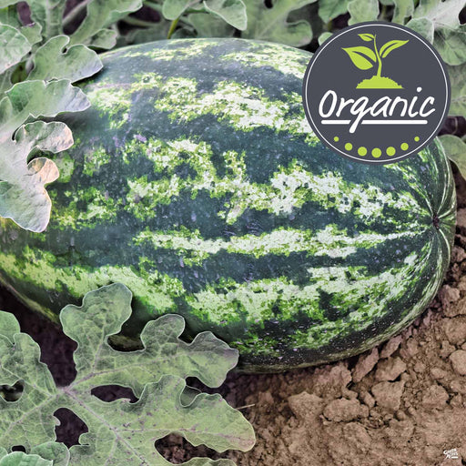 Organic Watermelon 'Crimson Sweet'