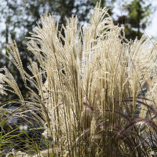 Maiden Grass 'Morning Light'
