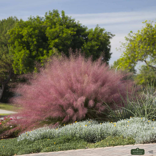 Pink Muhly Grass 'Plumetastic'