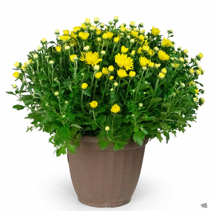 2020 Mums in Cache Pot