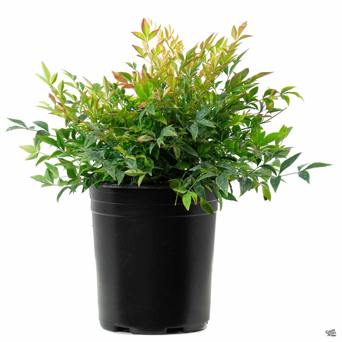 Heavenly Bamboo 'Gulf Stream' 1 gallon