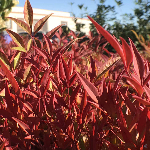 Nandina 'Moon Bay'