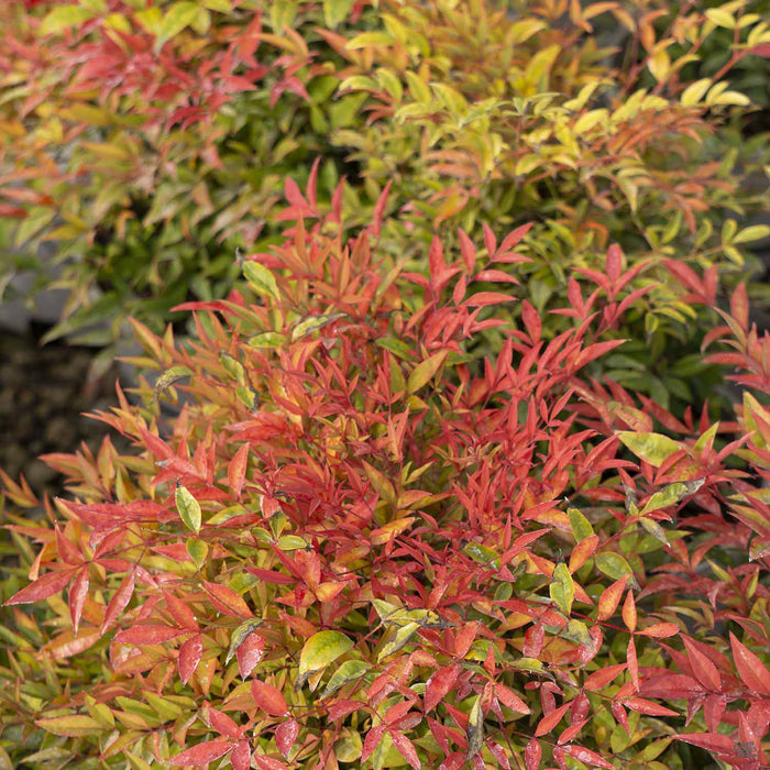 Nandina 'Moon Bay' Fall Colors